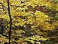 Maple leaves (yellow) PA240059.jpg