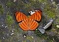 Maplet Chersonesia sp. (21167929764).jpg