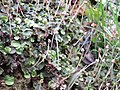 Marchantia polymorpha 21.jpg