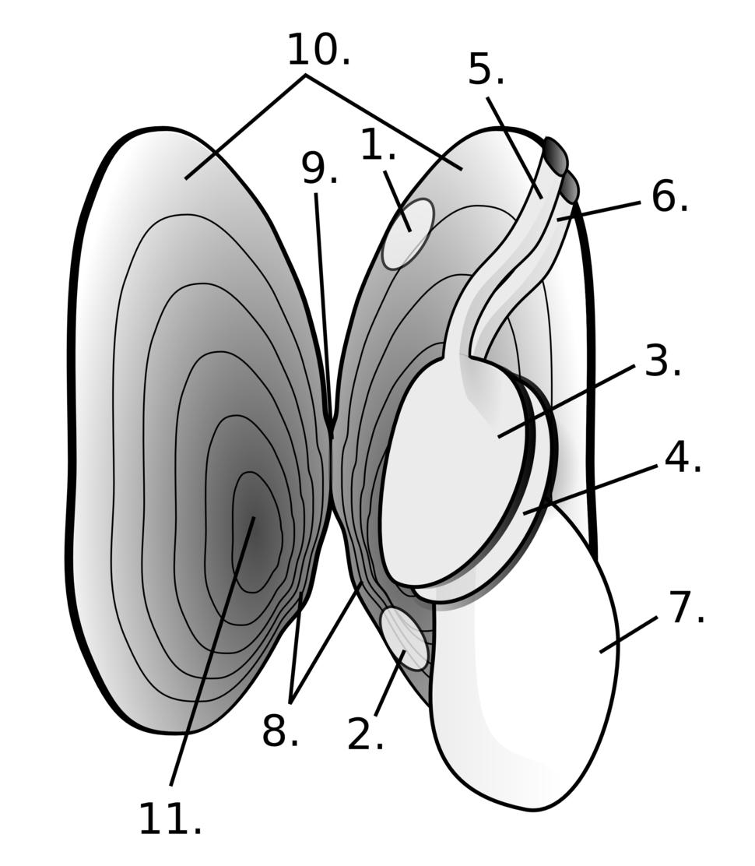 Freshwater pearl mussel anatomy