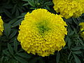Marigold at Lalbagh Flower show August 2012 100027.jpg
