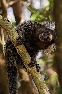 Marmoset copy.jpg