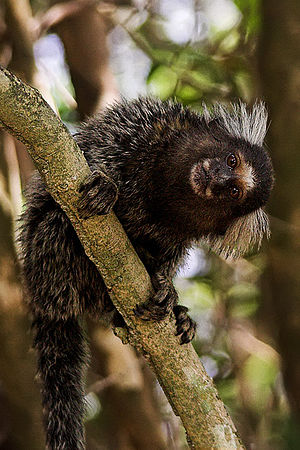 Marmoset - Common marmoset (Callithrix jacchus) at Tibau do Sul, Rio Grande do Norte