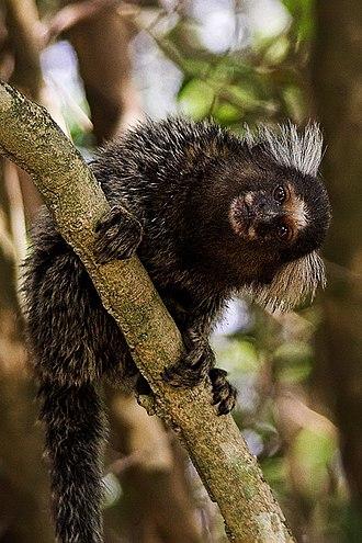 Callithrix - Common marmoset (Callithrix jacchus)