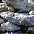 Marmota camtschatica img 4970.jpg
