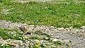 Marmots galore near Lech 2017 1 (26517996968).jpg