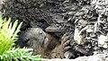 Marmots galore near Lech 2017 7 (25516982517).jpg