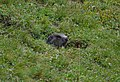 Marmotta delle Alpi (9582881671).jpg