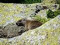 Marmotte en ariège.JPG
