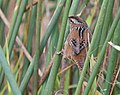 Marsh Wren (30108141746).jpg