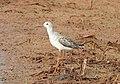 Marsh sandpiper(Tringa stagnatilis).jpg