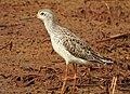 Marsh sandpiper 7(Tringa stagnatilis).jpg