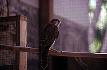 A kestrel sitting on a branch in a cage