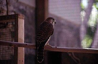 Mauritius kestrel - Bird awaiting release, 1989
