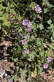 Mauve sylvestre-Malva sylvestris-Calvisson CNP-20140806.jpg