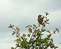 Meadow Pipit (5822091281).jpg