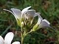 Meadow Saxifrage (Saxifraga granulata) (8888087012).jpg
