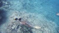 File:Meeresschildkröte Bissa.Морская черепаха Бисса (Eretmochelys imbricata)..DSCF0446.webm