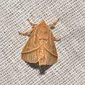Megalopygidae sp. (16801148389).jpg