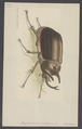 Megasoma - Print - Iconographia Zoologica - Special Collections University of Amsterdam - UBAINV0274 001 06 0038.tif