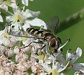 Melangyna labiatarum (female) - Flickr - S. Rae (14).jpg