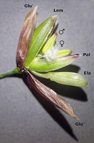 Melica - Melica uniflora spikelet