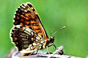 Melitaea athalia (KK).jpg