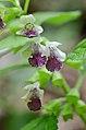 Melittis melissophyllum (7180022013).jpg
