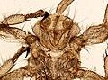 Melophagus ovinus (YPM IZ 093747).jpeg