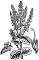 Mentha × rotundifolia BF-1880.png