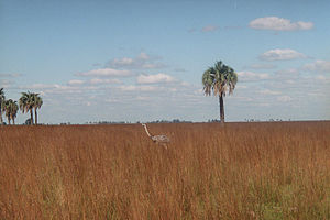 Greater rhea - Wild greater rhea (probably R. a. albescens) in habitat. Goya Department, Corrientes Province, Argentina