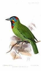 Картина зеленой птицы с пятнами черного, красного, синего и желтого цветов на лице, голове и горле.