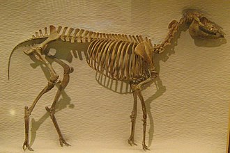 Mesohippus - Mesohippus barbouri