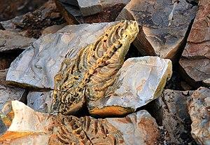 Mesosaurus - Skeleton molds in whitish weathering shales of the Whitehill Formation, Keetmanshoop, Namibia