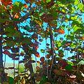 Miami Beach - Sand Dunes Flora - Seagrape Trees.jpg