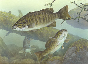 Smallmouth bass - Illustration of a group of smallmouth bass