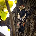Middle spotted woodpecker (21491665160).jpg
