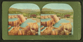 Minerva Terrace, Mammoth Hot Springs Hotel in Distance, Yellowstone National Park, from Robert N. Dennis collection of stereoscopic views.png