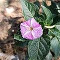 Mirabilis jalapa (Family Nyctaginaceae) - I.jpg