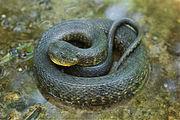 Mississippi Green Water Snake.jpg