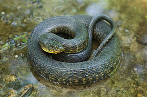 Description de l'image Mississippi Green Water Snake.jpg.