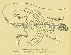 Mivart Flying dragon skeleton.jpg