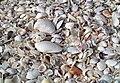 Mollusc shells on marine beach (Cayo Costa Island, Florida, USA) 20 (26177512995).jpg