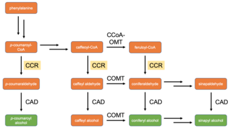 Cinnamoyl-CoA reductase - Current model of monolignol biosynthesis in land plants. Three most common lignin monomers shown in green, all other compounds shown in orange. CCR step highlighted. CCoA-OMT: caffeoyl-CoA O-methyltransferase; CAD: cinnamyl alcohol dehydrogenase; COMT: caffeate O-methyltransferase.