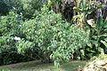 Montanoa bipinnatifida - Jardim Botânico Tropical - Lisbon, Portugal - DSC06631.JPG