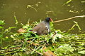 Moorhen at Fourteen Locks, Newport (9231).jpg