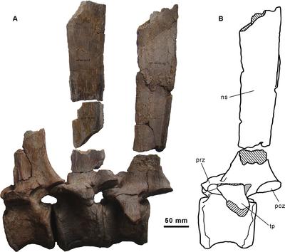 Morelladon dorsal vertebrae.PNG