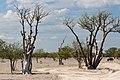 Moringa skog med gnu-2278 - Flickr - Ragnhild & Neil Crawford.jpg
