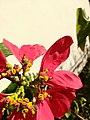Mosca das flores (Ceriana sp) 01.jpg