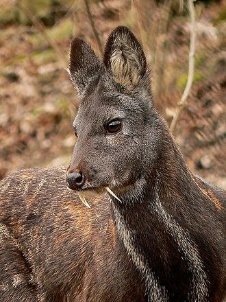 Siberian musk deer - Moschus moschiferus